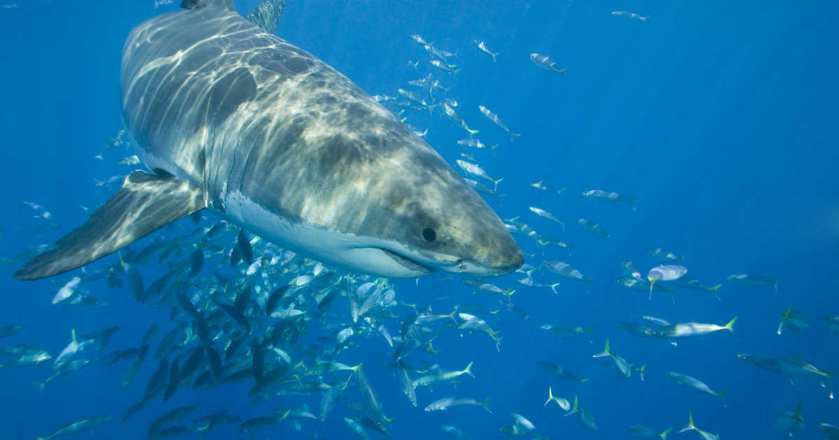 Great white sharks have been swarming the beaches in North and South Carolina due to the warming weather over the recent weeks